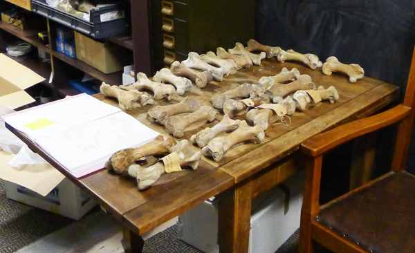 Moa femurs being processed at Whanganui Regional Museum.